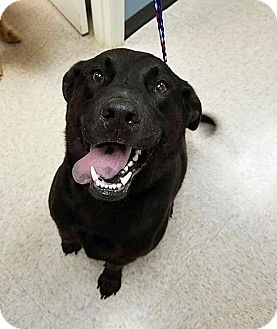 Labrador Retriever Mix Dog for adoption in BIRMINGHAM, Alabama - Shadow II