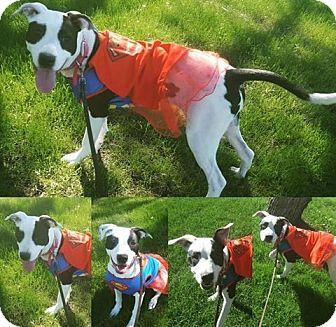 Boxer/Dalmatian Mix Puppy for adoption in Phoenix, Arizona - Luna