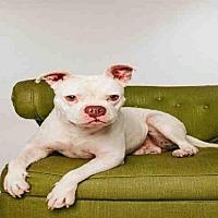 American Bulldog/Staffordshire Bull Terrier Mix Dog for adoption in Sugar Land, Texas - *MEATBALL