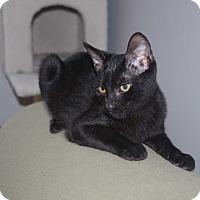 Domestic Shorthair Cat for adoption in Smithfield, North Carolina - Mowgli SPECIAL ADOPTION FEE