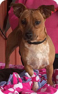 Dachshund Mix Dog for adoption in Kansas city, Missouri - Wilson