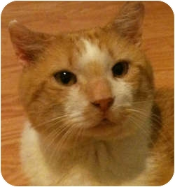 Domestic Shorthair Cat for adoption in Chicago, Illinois - Harry