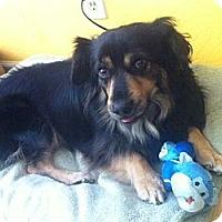 Adopt A Pet :: Benny NEEDS ADOPTER ASAP! - Sacramento, CA