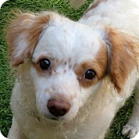 Adopt A Pet :: Amber - La Costa, CA