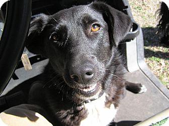 Australian Cattle Dog Mix Dog for adoption in Ravenel, South Carolina - Bridgett