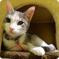 Adopt A Pet :: Bindi Boo - The Colony, TX