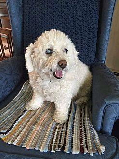 Cockapoo Mix Dog for adoption in Fargo, North Dakota - Emma