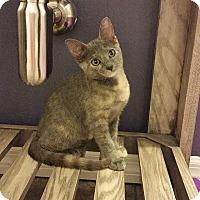Domestic Shorthair Kitten for adoption in Tampa, Florida - Sasha