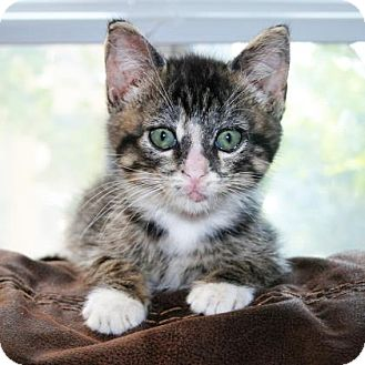 Domestic Shorthair Kitten for adoption in Austin, Texas - Larry
