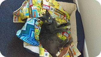 Domestic Shorthair Kitten for adoption in Lakeland, Florida - Gizmo
