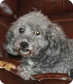 Poodle (Miniature)/Maltese Mix Dog for adoption in Homer, New York - Lew