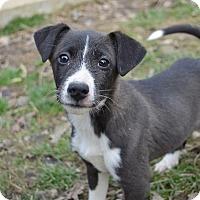 Adopt A Pet :: Violet - Morristown, NJ