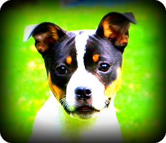 French Bulldog/Terrier (Unknown Type, Medium) Mix Puppy for adoption in Glastonbury, Connecticut - Lola~adopted!
