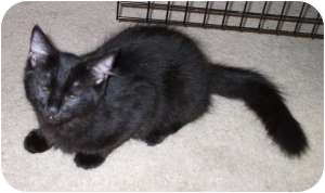Domestic Shorthair Cat for adoption in Henderson, Kentucky - Elvis