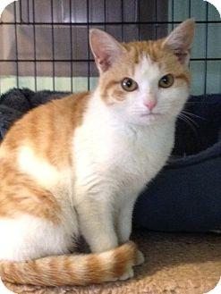 Domestic Shorthair Kitten for adoption in Monroe, Georgia - Cleo