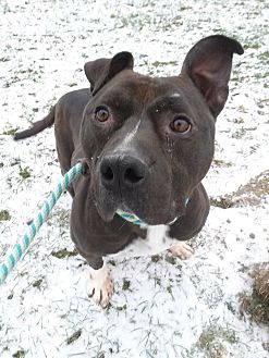 American Pit Bull Terrier Mix Dog for adoption in Lake Odessa, Michigan - Hungry Howie