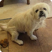 Pug/Eskimo Spitz Mix Dog for adoption in Oakdale, Tennessee - Virgie