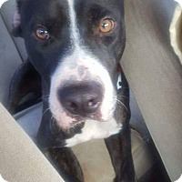 American Staffordshire Terrier/American Pit Bull Terrier Mix Dog for adoption in Covington, Tennessee - Spot