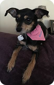 Chihuahua/Terrier (Unknown Type, Small) Mix Dog for adoption in Palm Harbor, Florida - Sophie