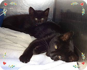 Domestic Shorthair Kitten for adoption in Marietta, Georgia - CARL & CORA (R)