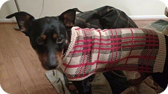 Manchester Terrier Mix Dog for adoption in North Brunswick, New Jersey - peanut