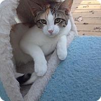 Calico Kitten for adoption in Devon, Pennsylvania - Kristen