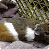 Adopt A Pet :: *Urgent* Heidi - Fullerton, CA
