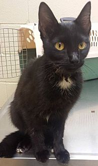 Domestic Shorthair Cat for adoption in Christiana, Tennessee - Tuesday