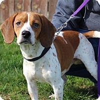 Adopt A Pet :: Ringo - Elyria, OH