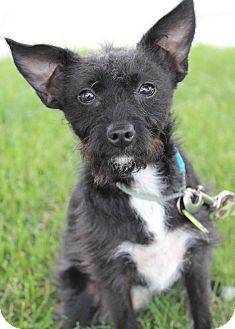 Terrier (Unknown Type, Small)/Chihuahua Mix Puppy for adoption in Westminster, Colorado - Aliva