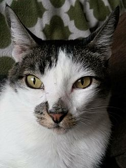 Domestic Shorthair Cat for adoption in Beverly Hills, California - Dash