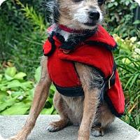 Adopt A Pet :: Penelope-Adoption pending - Bridgeton, MO