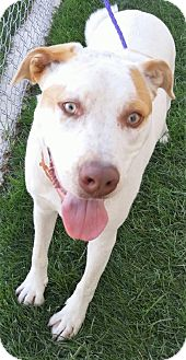 Pit Bull Terrier Mix Dog for adoption in Fruit Heights, Utah - Blue