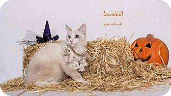 Birman Kitten for adoption in Corona, California - SNOWBALL
