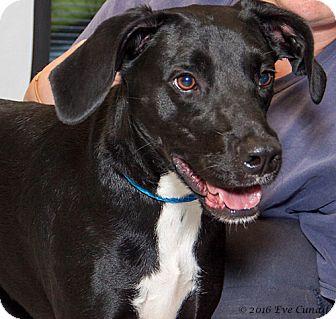 Hound (Unknown Type)/Labrador Retriever Mix Dog for adoption in Martinsville, Indiana - Darius