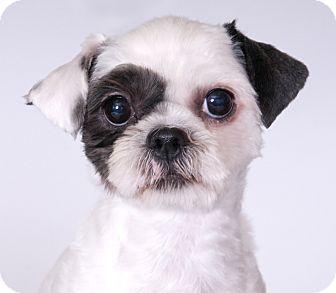Shih Tzu Dog for adoption in Chicago, Illinois - Bella