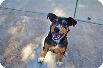 Collie/Labrador Retriever Mix Puppy for adoption in Tempe, Arizona - Jessie