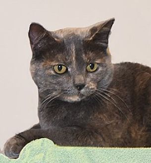 Domestic Shorthair Cat for adoption in Farmington Hills, Michigan - Ruby