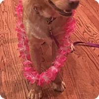 Labrador Retriever Mix Dog for adoption in Houston, Texas - Summer