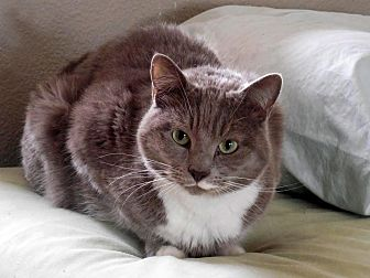American Shorthair Cat for adoption in Palo Cedro, California - Puffin