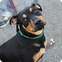Adopt A Pet :: Rebel Yell!  Local Boy in NY - Rowayton, CT