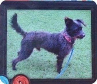 Standard Schnauzer Mix Dog for adoption in Belleville, Michigan - Vinny