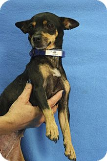 Chihuahua Mix Dog for adoption in Broomfield, Colorado - Susie