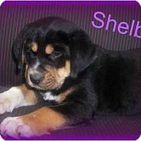 Adopt A Pet :: SHELBY - Southport, NC