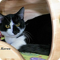 Adopt A Pet :: Raven - Dover, OH