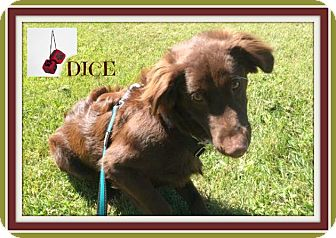 Labrador Retriever/Springer Spaniel Mix Dog for adoption in New Richmond,, Wisconsin - Dice