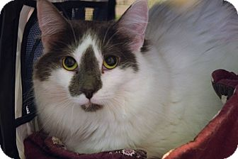 Domestic Longhair Cat for adoption in Flushing, Michigan - Lilly