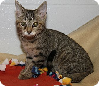 Domestic Shorthair Cat for adoption in Marietta, Ohio - Betsy (Spayed)