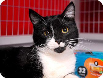 Domestic Shorthair Cat for adoption in Winchendon, Massachusetts - Reegan