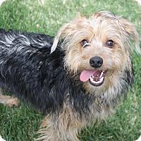 Adopt A Pet :: Simon - Henderson, NV